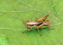 Roesel's Bush-cricket - Metrioptera roeselii
