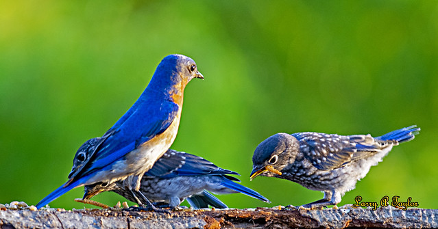 Bluebird Dad teaching his kids to eat on their own in Middle Tennessee.