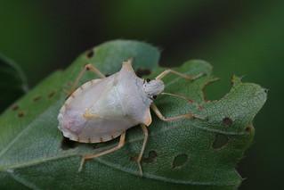 Pentatoma rufipes (teneral adult)