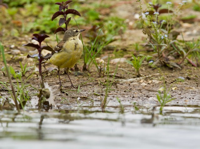 Yellow Wagtail (f)