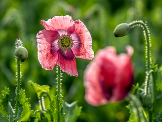 Poppy, Woodquarter, Austria