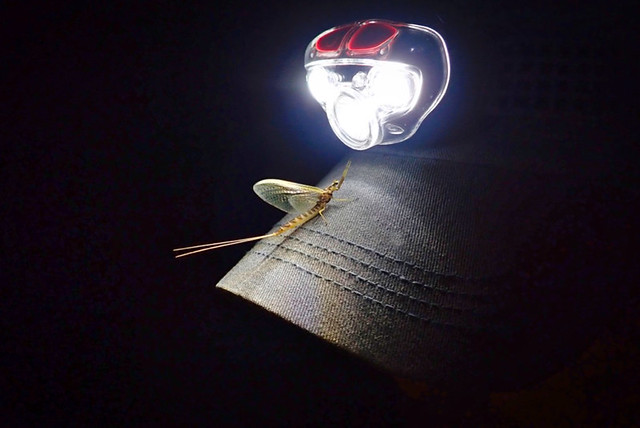 Worshiping The Light God!  Hexagenia limbata