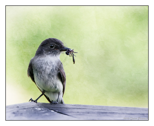 eastern phoebe fly deck bird easternphoebe flycatcher sayornisphoebe passerine dinner hss happyslidersunday