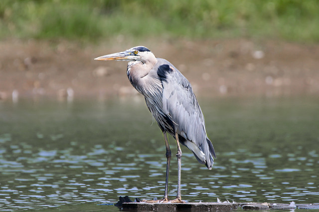Great Blue Heron in the Pond