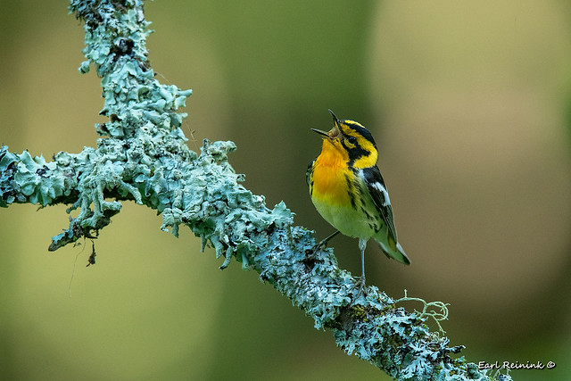 Blackburnian Warbler sends out an evening song.