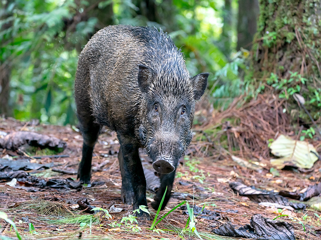 Wild Boar (Sus scrofa) | Fraser's Hill, Pahang, Peninsula Ma… | Flickr