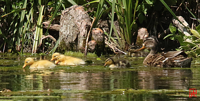 Les trois maillots jaunes en tête du tour de l'étang