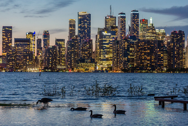 Avian tourists enjoy an evening meal while taking in the Toronto skyline