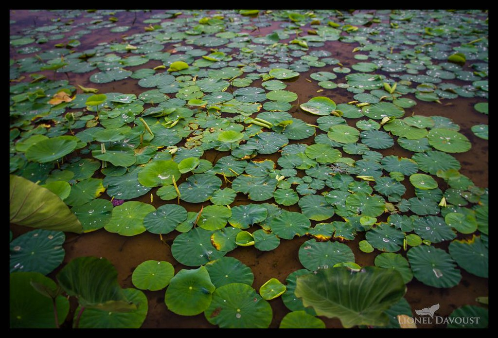 Lotus fields