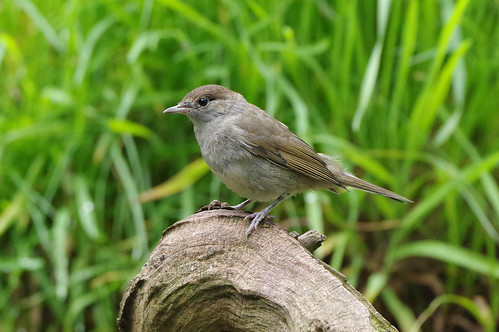 norfolk sylviaatricapilla weetingheath bird blackcap nature warbler wild wildlife