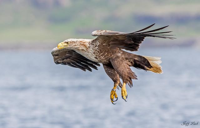 JWL0024  Sea Eagle...