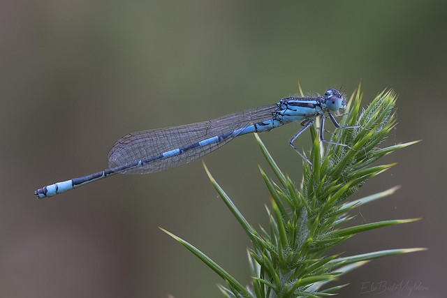 Coenagrion scitulum - macho