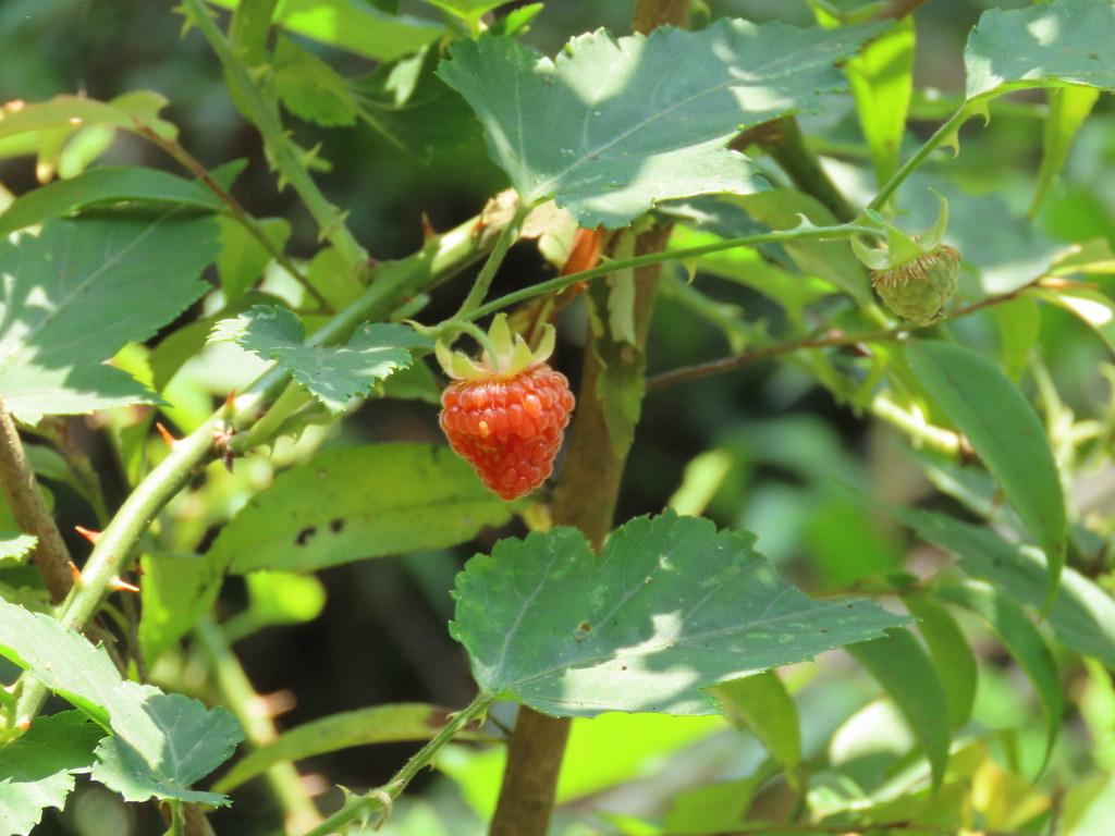 原住民族到森林採集葉、花、果,有採集規則合法保障。攝影:廖靜蕙