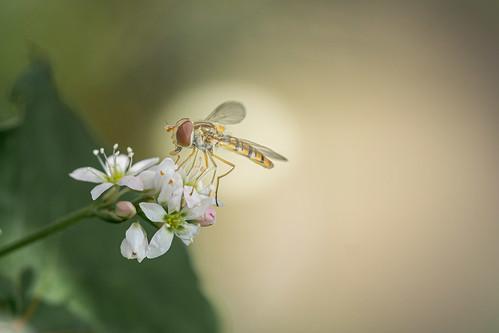 mini Fliege....ganz groß...