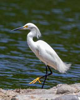 Snowy Egret | by Cascadia Images