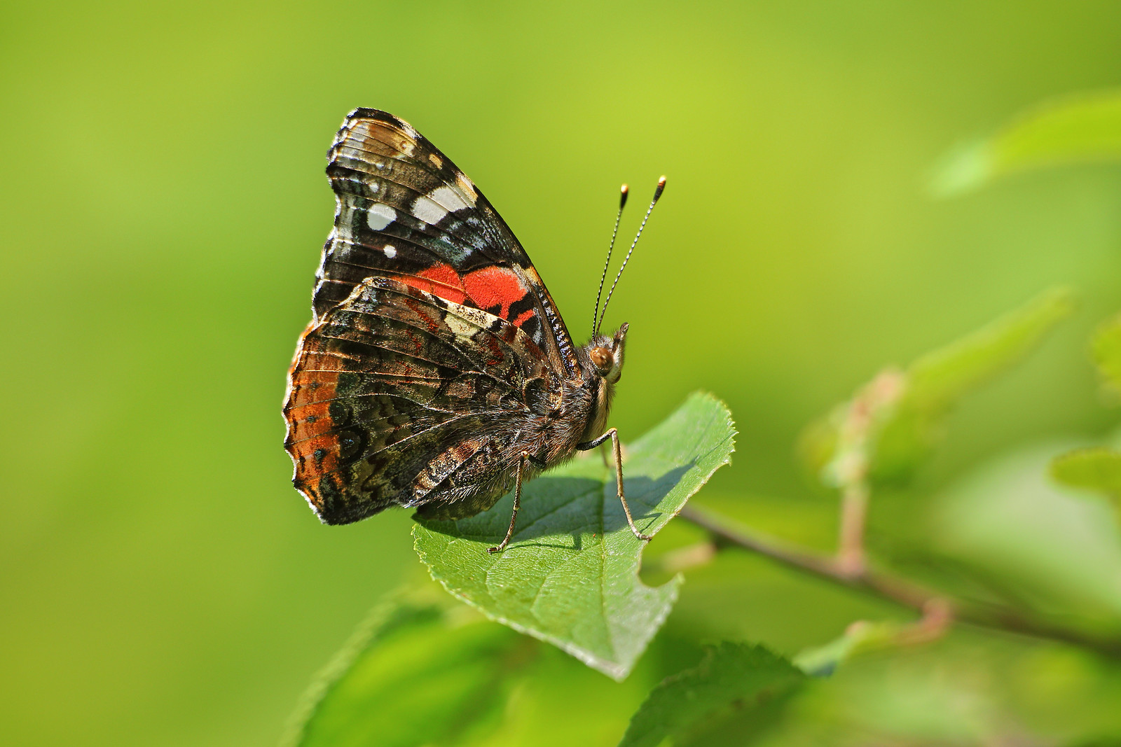 Red Admiral, Knepp Estate