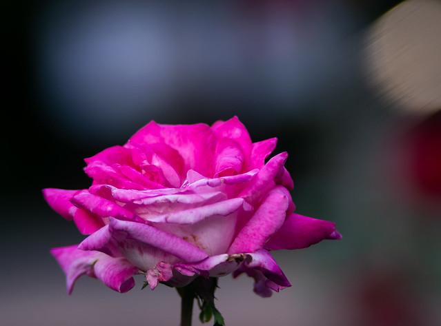 Where the roses grow