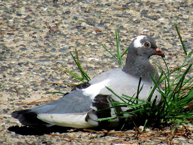 pigeon resting