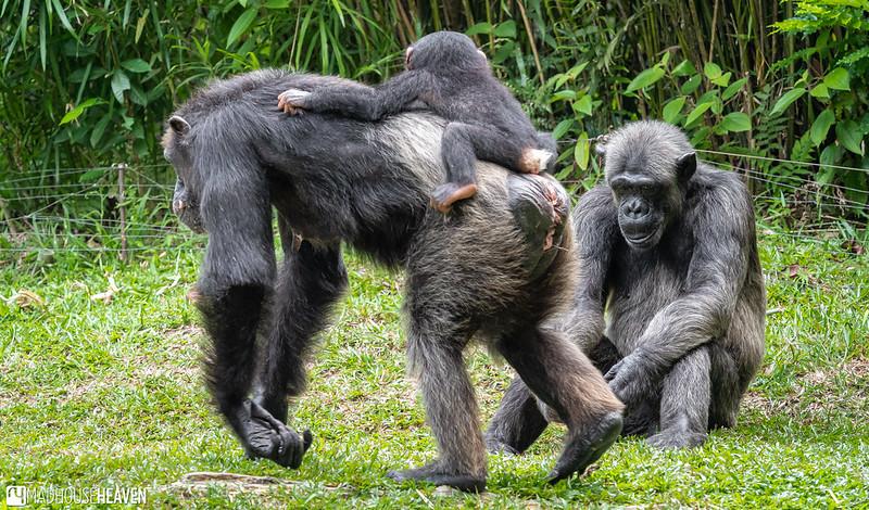 Singapore Zoo - 0693
