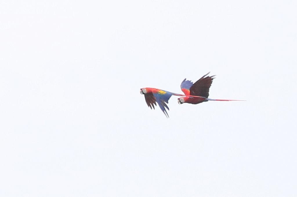 Scarlet Macaw - Ara macao - Aguirre, Puntarenas, Costa Rica - June 13, 2019