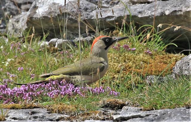 Green Woodpecker - Female      (Picus viridis)