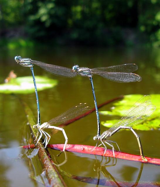 Dragonflies. River Psel. Ukraine.