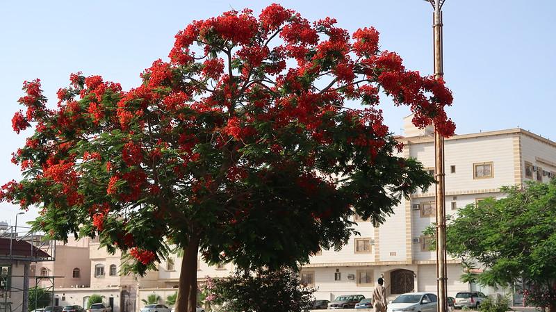 شجرة بونسيانا طريق الشفا الطائف