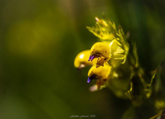 Une Jolie Fleur Déguisée en Coq...