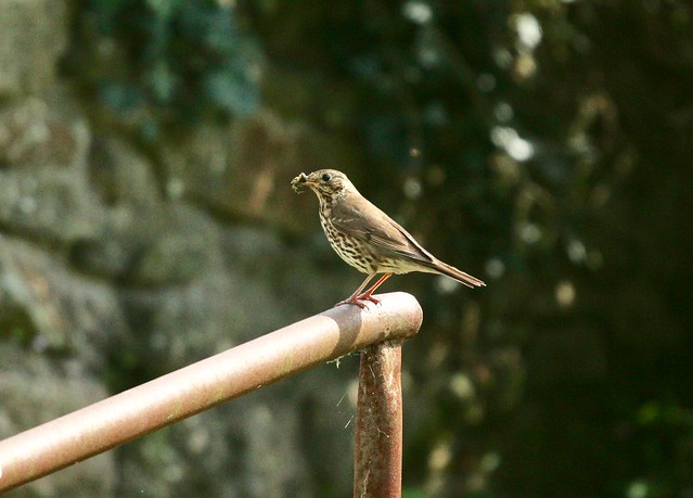 Song Thrush, The Square, Upper Cwmbran 4 July 2019