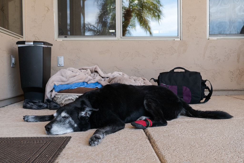 Our dog Ellie sleeps on the concrete beside her dog bed on our porch at our house in Scottsdale, Arizona in April 2019
