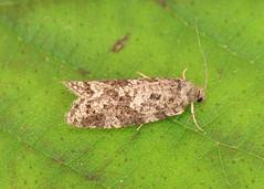 Cnephasia sp.