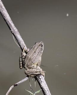 Marsh Frog (Pelophylax ridibundus)