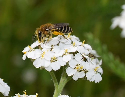 Colletes species, female  (thanks David Notton, NHM Bees for identification)