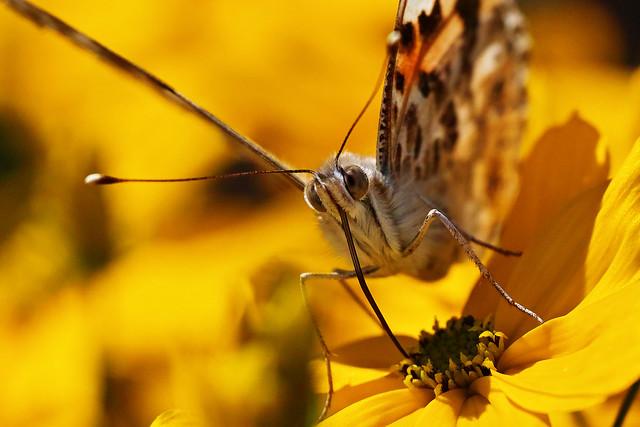 Aurelia Nymphalidae
