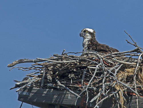 Pineview Female Osprey