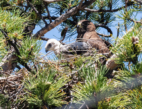 swainsons_hawk_mom_and_baby_20190704_345