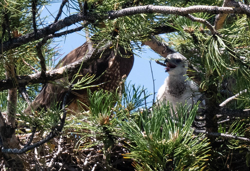 swainsons_hawk_mom_and_baby_20190704_171