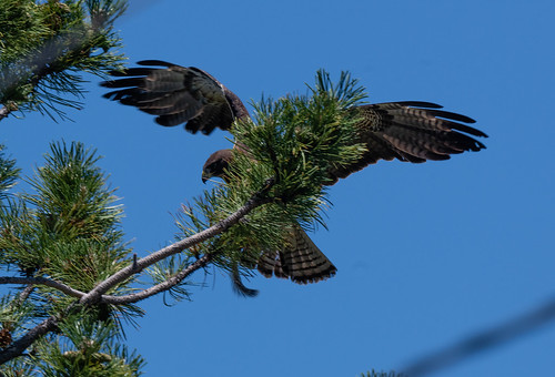 swainsons_hawk_with_squirrel-20190704-100