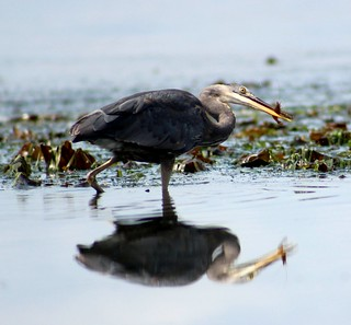 Great Blue Heron with a spot shrimp