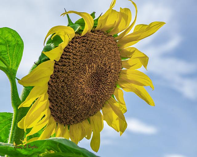 Wild Sunflower found in Middle Tennessee