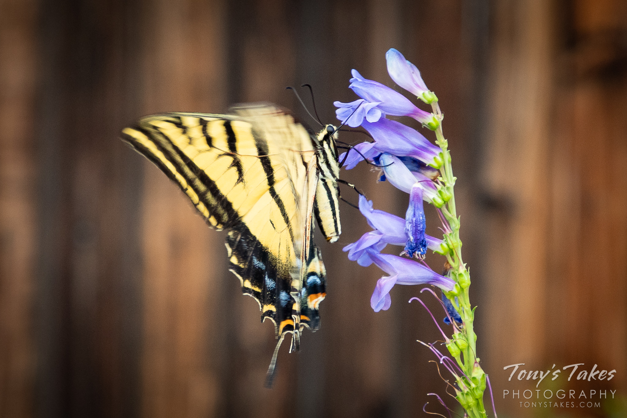 An eastern tiger swallowtail butterfly enjoys a flower in Thornton, Colorado. (© Tony's Takes)