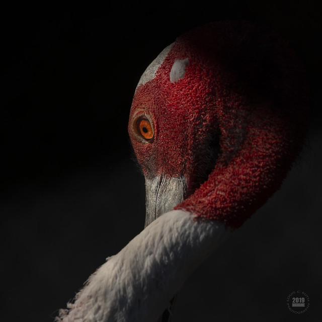 Sarus Crane Portrait 2019