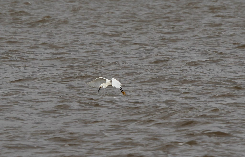 Snowy egret hover fishing