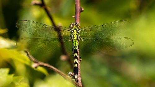 Pond hawk Dragonfly