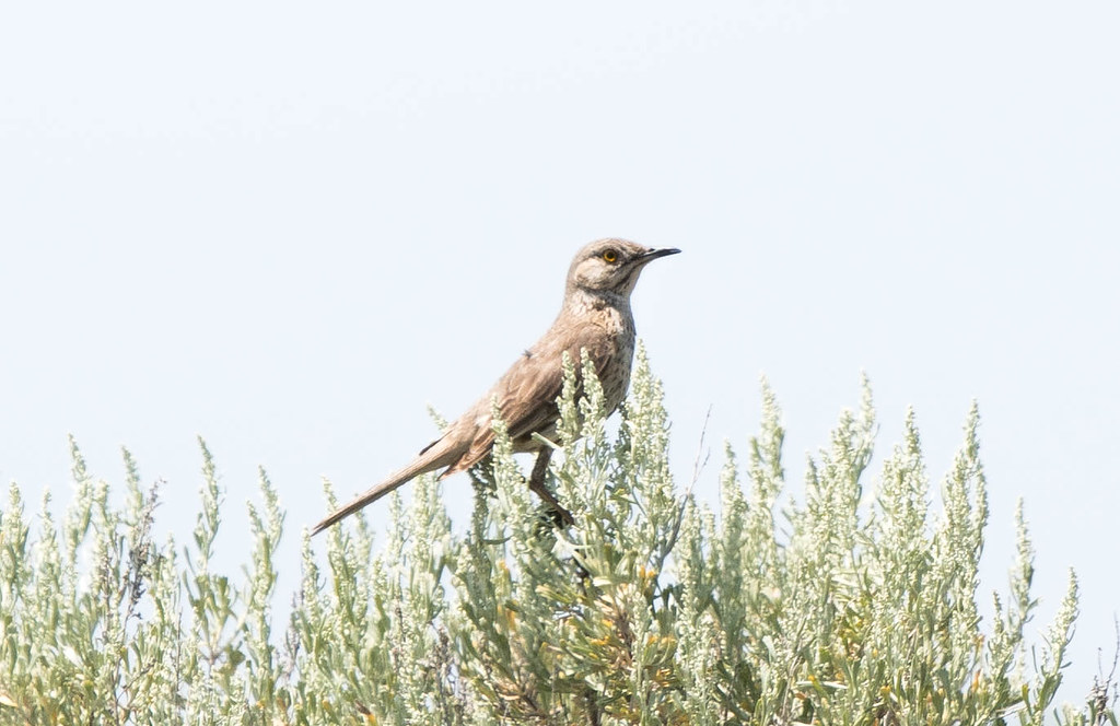 Sage thrasher (1 of 1)