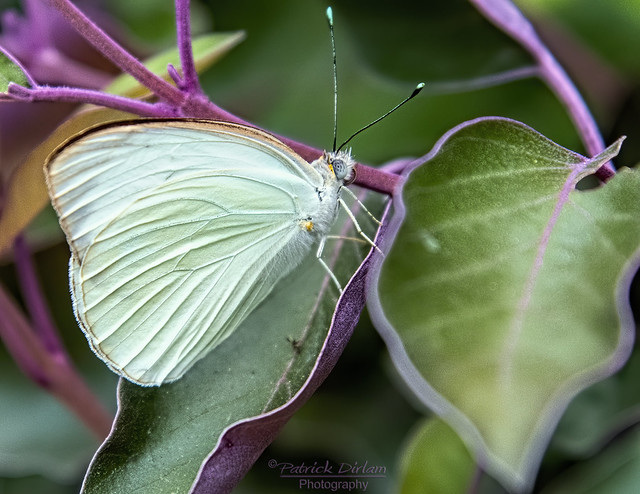 Great Southern White butterfly greenish hue