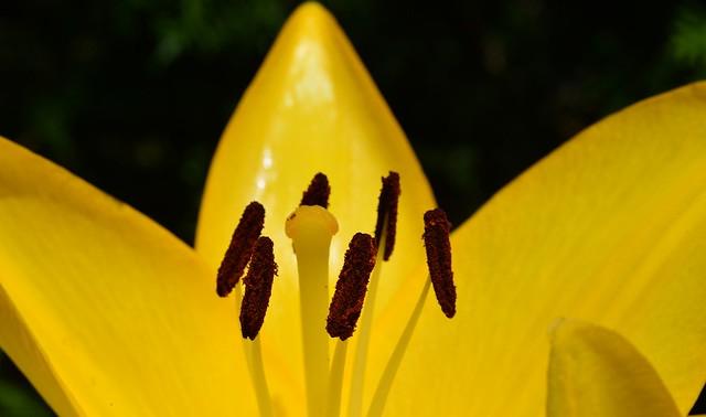 Munich  - Yellow Lily