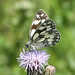 Marbled White butterfly at Chesworth Farm, Horsham