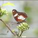8927 - danaid eggfly
