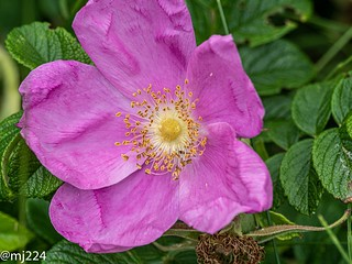 Dog Rose | by dudutrois